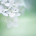 Close Up Of White Hydrangea by Elisabeth Schmitt