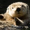 Closeup Of A Captive Sea Otter Making by Tim Laman