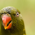 Closeup Of A Scaly-breasted Lorikeet by Tim Laman