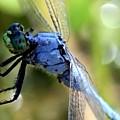 Closeup Of Blue Dragonfly by Carol Groenen