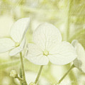 Closeup Of Hydrangea Flowers With Vintage Background by Sandra Cunningham