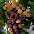 Cluster Of Ripe Grapes by Amos Dor