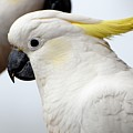 Cockatoo 3237 by PhotohogDesigns