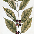 Coffee Plant, 1735 by Granger