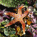 Colorful Seastar Laying On Cean Reef by James Forte