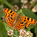 Comma Butterfly by Bob Kemp