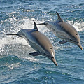 Common Dolphins Leaping by Tim Melling