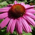 Cone Flower by Corinne Elizabeth Cowherd