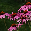 Coneflower Spray by Tingy Wende