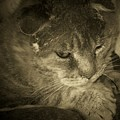 Contemplation Of Thumbody In Sepia Tone by Deborah Montana
