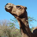 Contemptuous Camel by DigiArt Diaries by Vicky B Fuller