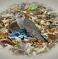 Cooper's Hawk - Accipiter Cooperii - With Blue Jay by Mother Nature