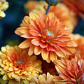 Copper Mums by Cricket Hackmann