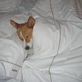 Corgi Sleeping Softly by Don Struke