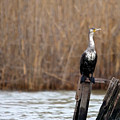Cormorant On Post by Cliff Norton