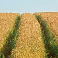 Corn Field by Heiko Koehrer-Wagner