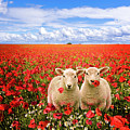 Corn Poppies And Twin Lambs by Meirion Matthias