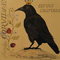 Corvus Caurinus by Victoria Heryet