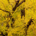 Cottonwood Fall Foliage Colors Abstract by James BO  Insogna