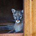 Cougar by Donna Shahan