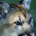 Cougar by Steve Somerville