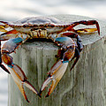 Crab Hanging Out by Luana K Perez