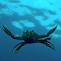 Crab Swimming In The Blue Water by Sami Sarkis