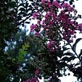 Crepe Mrytle Blossoms by Eva Thomas