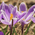 Crocuses 2 by Michael Peychich