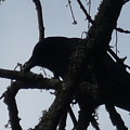 Crow Silouette by Dawna Raven Sky