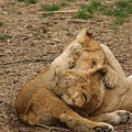 Cubs Wrestling by Tina McKay-Brown