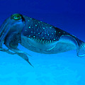 Cuttlefish by Gary Hughes