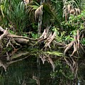 Cypress Swamp  by Barbara Bowen