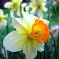 Daffodil 2 by Sharon Crawford