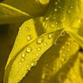 Daffodil Dew by Teresa Mucha