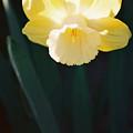 Daffodil by Steve Karol