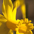 Daffodil Yellow by Steven Natanson