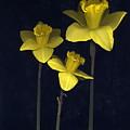 Daffodilia II by William Thomas