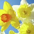 Daffodils Art Print Floral Sky Bouquet Daffodil Flower Baslee by Baslee Troutman