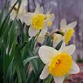 Daffodils by David Arment