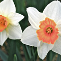 Daffodils Orange And White by Michael Peychich
