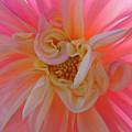 Dahlia Flower Sunlit Pink White Dahlia Garden Floral  by Baslee Troutman