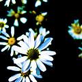 Daisies by Grebo Gray