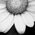Daisy Smile - Black And White by Angela Rath