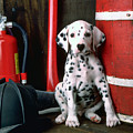 Dalmatian Puppy With Fireman's Helmet  by Garry Gay