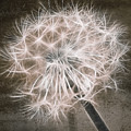 Dandelion In Brown by Aimelle