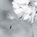Dandelion Macro Make A Wish by Stephanie McDowell