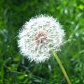 Dandelion Seeds 103 by Ken Day