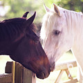 Dark Bay And Gray Horse Sniffing Each Other by Sasha Bell