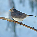 Dark-eyed Junco Or Snowbird - Junco Hyemalis by Mother Nature